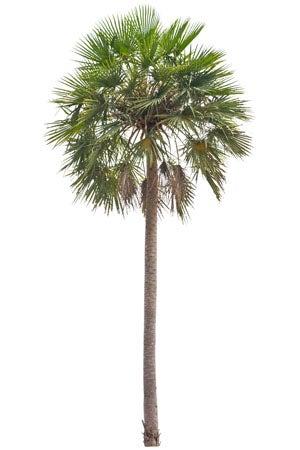 Types of Palm Trees: Caranday palm (Copernicia alba)